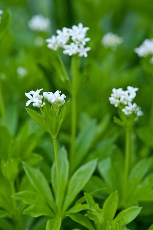 Sweet woodruff (Galium odoratum), mid April. A wildflower often found in chalk woodlands.