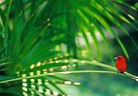 Red Bird .Tanager