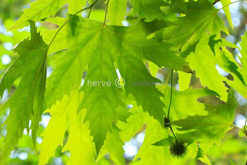 Feuilles de platane d'Orient à feuilles digitées (Platanus orientalis var. digitata) // Leaves of a Oriental plane with leaf fingered (Platanus orientalis var. digitata)