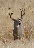 A trophy mule deer buck stands at alert in the foothills of western Montana.<br />