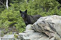 Black lone wolf