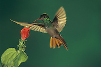 Buff-bellied Hummingbird, Amazilia yucatanenensis,adult feeding from Turk's Cap (Malvaviscus drummondii), The Inn at Chachalaca Bend, Cameron County, Rio Grande Valley, Texas, USA, May 2002
