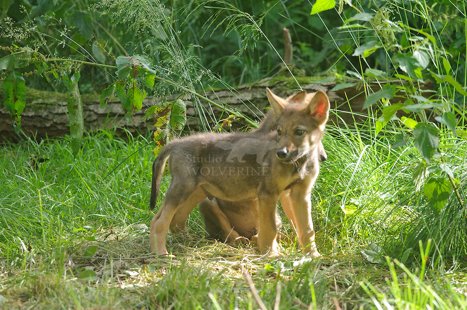 Wolf (Canis lupus) pups spelend