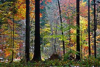 Autumn's colours in Carpathian beech forest, Bieszczady National Park, Poland