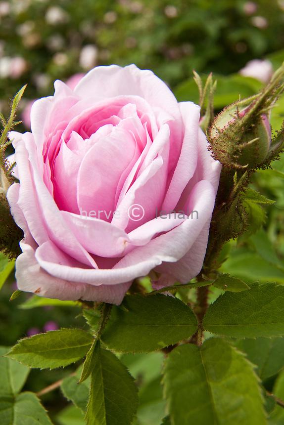 Rose 'Gloire des Mousseux', Rosa 'Gloire des Mousseux'