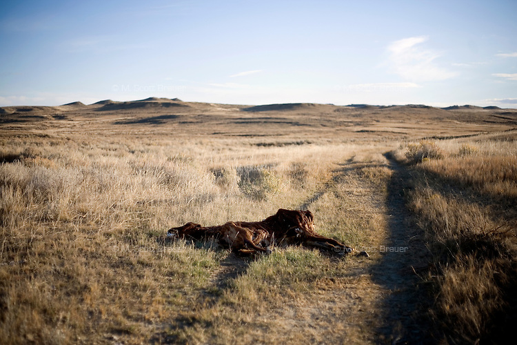 The carcass of a dead cow lays in the tire tracks of a ranch access road on the Coffee Ranch in Rosebud County near Melstone and Sumatra, Montana, USA.