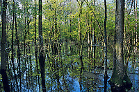 Spring wetlands, Tensas National Wildlife Refuge, Louisiana.  April.