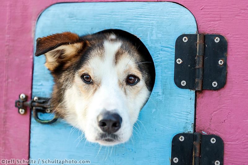 Cindy Abbott's dog Barge waits patiently in his dog box prior to  the Ceremonial Start of the 2017 Iditarod in Anchorage on Saturday March 4, 2017 <br /> <br /> Photo by Jeff Schultz/SchultzPhoto.com  (C) 2017  ALL RIGHTS RESVERVED