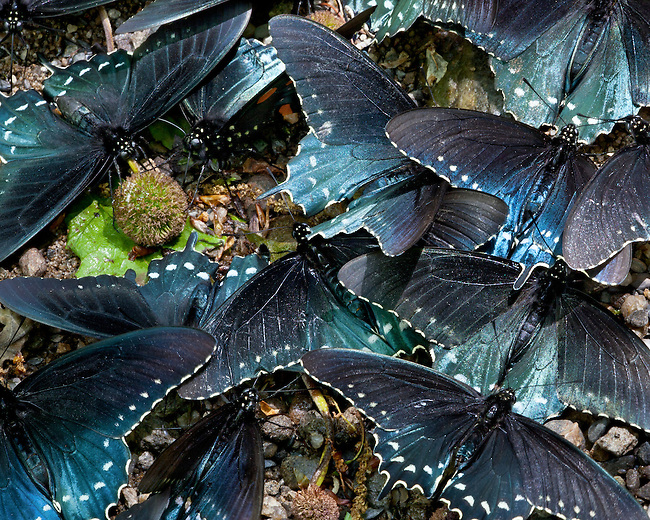 A group of Pipevine Swallowtail Butterflies were clustered together on the bank of the Little River along the Cucumber Gap Loop trail in the Smoky Mountains outside Gatlinburg, TN in early May.