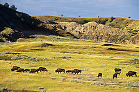 Bison herd, Theodore Roosevelt National Park, North Dakota
