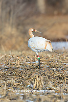 00881-00403 Whooping Crane (Grus americana) Federally endangered species feeding Effingham Co. IL