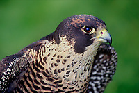 527952512 portrait of a captive peregrine falcon falco peregrinus a federally endangered species
