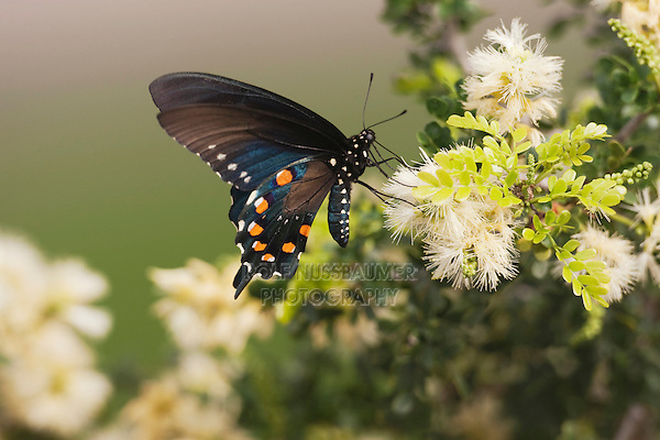 Pipevine Swallowtail (Battus philenor), adult feeding on flower, Sinton, Corpus Christi, Coastal Bend, Texas, USA