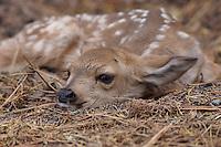 Deer - Mule - Fawns