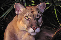 Florida Panther (Felis concolor coryi), endangered species, Florida.