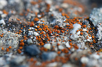 A tiny fiery orange foliose lichen grows on a rock with what looks like quartz in it.  Hand-held using my fingers as a tripod to support the lens on the rock.