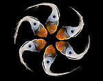 Fine art Pacific Puffins as Pinwheel