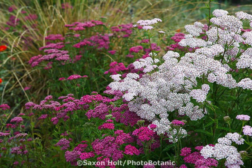 Achillea millefolium cultivars, flowering Yarrow or Milfoil in San Francisco Botanical Garden
