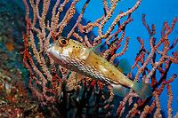 Balloonfish, Diodon holocanthus , Mexico, Sea of Cortez, Pacific OceanBaja California, La Paz