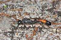 Dreiphasen-Sandwespe, Dreiphasensandwespe, Grabwespe, mit erbeuteter Raupe, Schmetterlingsraupe, Ammophila pubescens, Heath Sand Wasp