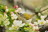Tennessee Warbler (Leiothlypis peregrina) feeding on insects among crab apple blossoms.  Great Lakes Region.  May.