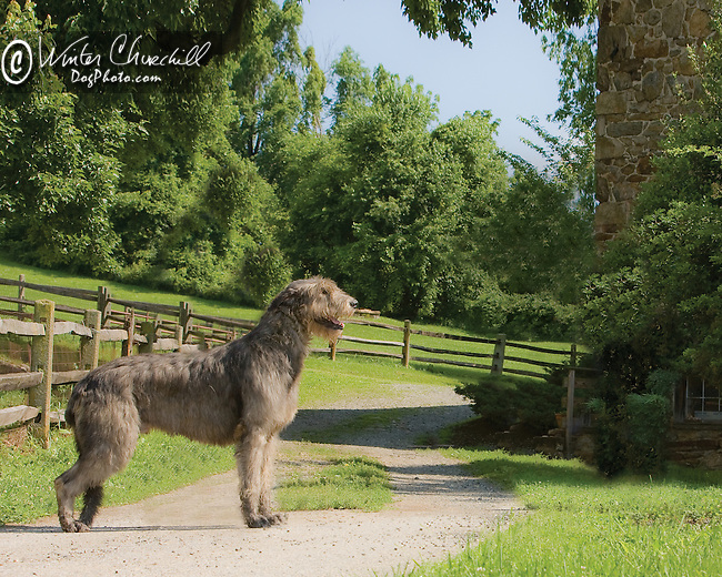Irish Wolfhound<br /> <br /> <br /> <br /> Shopping cart has 3 Tabs:<br /> <br /> 1) Rights-Managed downloads for Commercial Use<br /> <br /> 2) Print sizes from wallet to 20x30<br /> <br /> 3) Merchandise items like T-shirts and refrigerator magnets