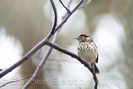 Speckled Warbler (Chthonicola (Sericornis) sagittata) Fam Pardalotidae. Open woodlands near Albury, NSW