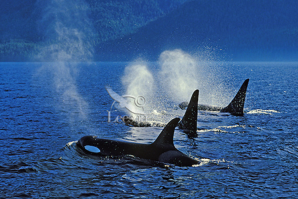 Three Orca whales (Orcinus orca) blowing while cruising off Vancouver Island, British Columbia.