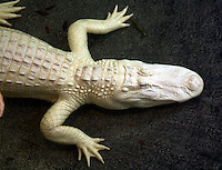 Albino alligator at the St. Augustine Alligator farm, St. Augustine, FL on March 20, 2006. (Photo by Brian Cleary/www.bcpix.com)