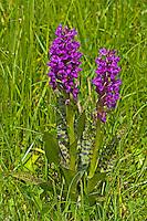 Breitblättriges Knabenkraut, Breitblätteriges Knabenkraut, Breitblättrige Fingerwurz, Dactylorhiza majalis, western marsh orchid, broad-leaved marsh orchid, fan orchid, common marsh orchid, Irish Marsh-orchid, Le Dactylorhize à larges feuilles, Dactylorhize de mai, Orchis de mai