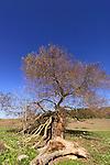 Israel, Menashe Heights, Salix acmophylla tree in Ein Parur by Hashofet stream