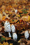Shaggy Mane mushrooms