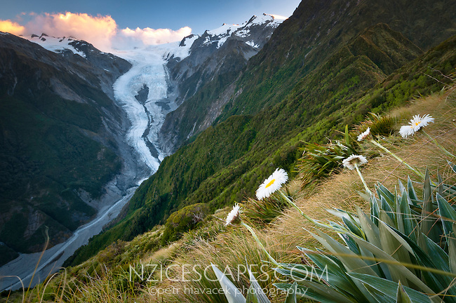 Franz Josef Glacier with mountain daisies as seen from Alex Knob, Westland NP, West Coast, New Zealand
