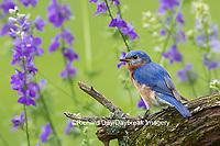 01377-17814 Eastern Bluebird (Sialia sialis) male in flower garden, Marion Co., IL