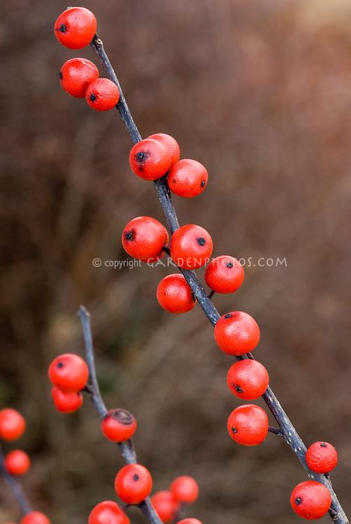 Ilex verticillata berries, winterberry, on bare branch in winter, showing several branches
