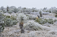 Frost covered plants, Marathon, West Texas, USA