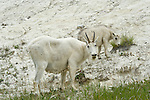 A female mountain goat and her young offspring finding minerals in the dirt