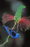 Red-legged Honeycreeper, Belize