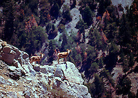NELSO BIGHORN EWES <br /> MIDDLE FORK JUMP OFF <br /> SAN GORGONIO WILDERNESS<br /> CALIFORNIA