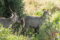 Male Common Waterbuck, Kobus ellipsiprymnus, sniffs the scent glands of a female in Tarangire National Park, Tanzania. At lower right is a female Common Impala, Aepyceros melampus melampus.