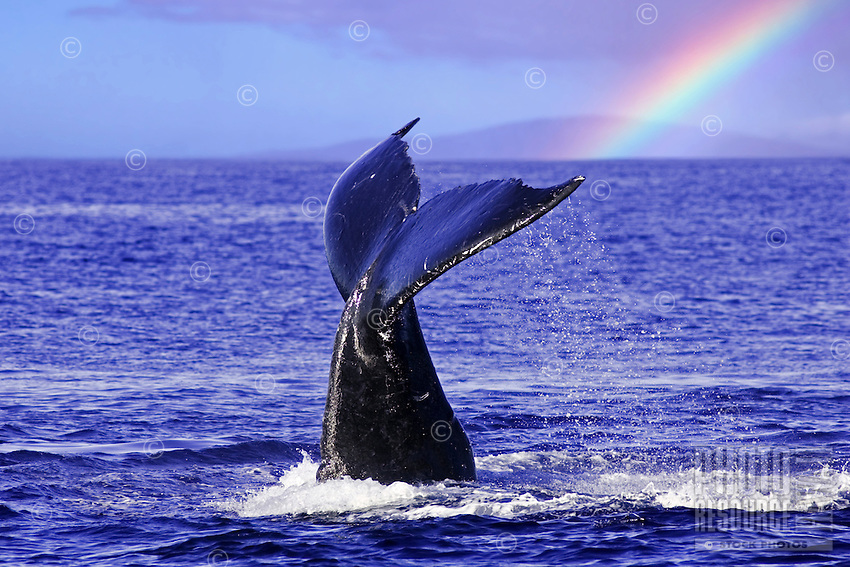 A humpback whale tail with a rainbow and the island of Lanai in the background.