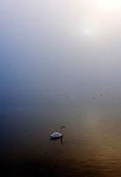 Germany, Bavaria, Upper Bavaria, Winter in Werdenfelser Land: winter scenery at Kochel Lake - swan