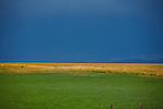 Green and golden colors of grasses in fields in western Montana with a dark sky