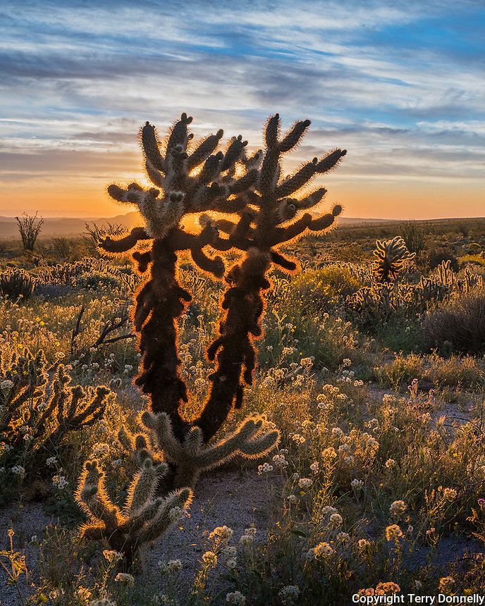 Anza Borrego Desert State Park, California:<br /> Cholla cactus back-lit by morning sun at Yaqui Meadows