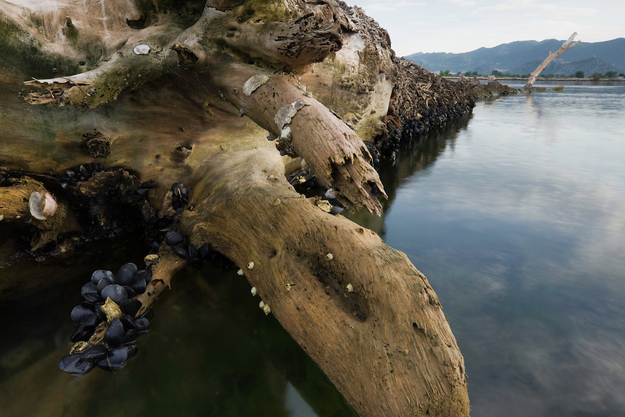 White willow (Salix alba) trunk,<br /> in the sea, with messels (Mytilus sp.) and limpets (Patella sp.).<br /> Adriatic sea in the area of Neretljanski kanal at the mouth of the delta of the Neretva river (trans-boundary area Croatia-Bosnia-Herzegovina/Croatia), Dalmatia region, Croatia.  May 2009.<br /> Elio della Ferrera / Wild Wonders of Europe