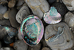 Abalone shells at Ano Nuevo State park