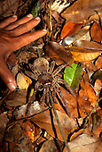 Amazon, Brazil; very large tarantula spider on the forest floor with man's hand.