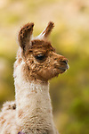 Llama (Lama glama) cria, Abra Granada, Andes, northwestern Argentina