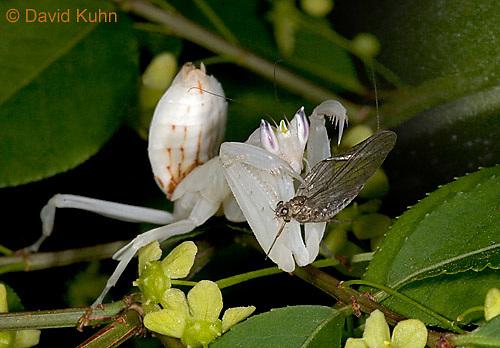 "0610-07rr  Malaysian Orchid Mantis Consuming Prey - Hymenopus coronatus ""Nymph"" - © David Kuhn/Dwight Kuhn Photography"