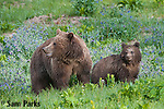 Grizzly bear sow and yearling cub. Yellowstone National Park, Wyoming.